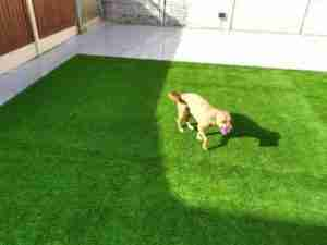 View of dog on new artificial lawn